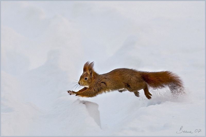 engadina-redsquirrel